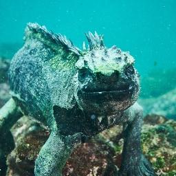 Marine Iguanas, Galapagos (2014)